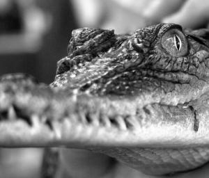 /Croc.1