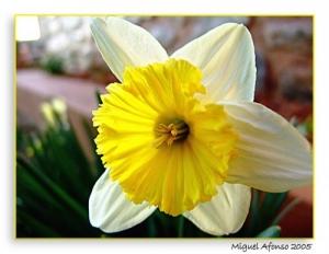 Macro/Narciso amarelo