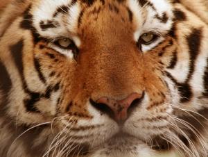 /Tiger