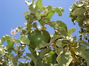 Outros/Fruta-de-lobo (lobeira)