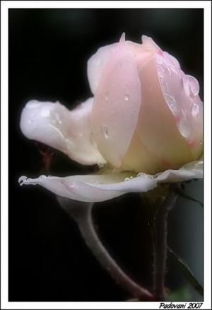 Macro/Rosa na chuva