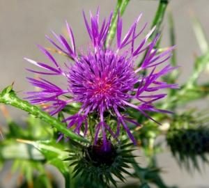 Outros/Flor Silvestre