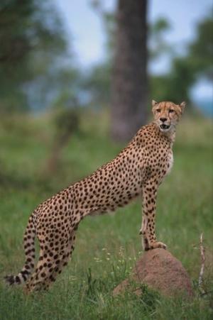 Animais/Chita-África do Sul