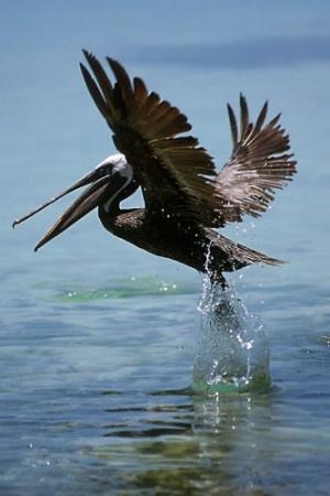 Animais/Pelicano-Belize
