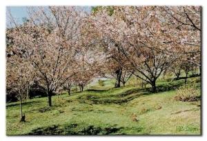 Outros/Cerejeiras