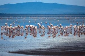 Animais/Flamingos-Quénia