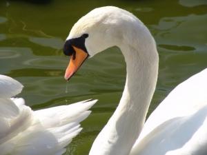/Um belo cisne