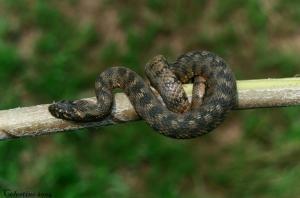 Animais/COBRA D,AGUA VIPERINA Natrix maura(Juvenil)