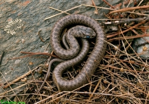 Animais/COBRA RATEIRA (Malpolon monspessulanus)