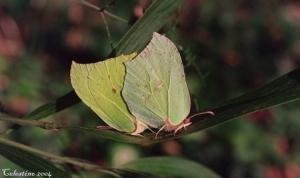 Animais/CASAL DE BORBOLETAS (Gonepteryx rhamni)