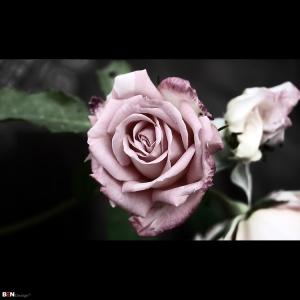 /303 - la vie en rose