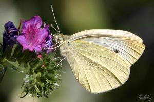 /...Pieris Brassicae...