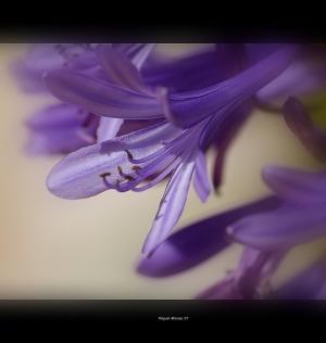 /lilás