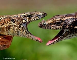 Macro/Grande luta de lagartos