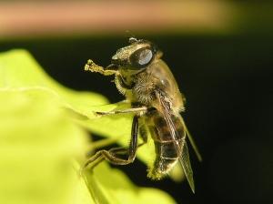 Macro/Insectos que vivem perto de nós............