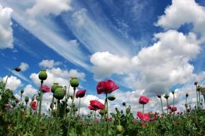 Paisagem Natural/Poppys under a Dutch sky