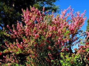 /Cerejeira-do-Japão - I