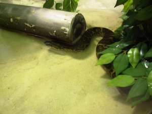 Animais/Pequena Anaconda