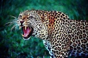 /Leopardo no Parque Nacional de Nairobi, Quênia