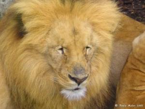 /Rei Leão