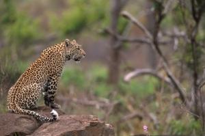 Animais/Leopardo-África do Sul