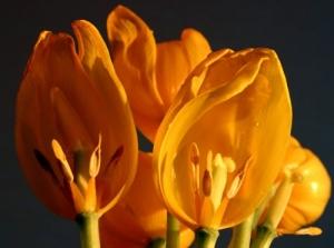 /tulipa#1