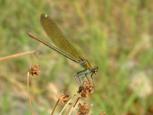 /Calopteryx virgo (Linnaeus, 1758)