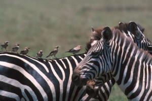 /Zebras-Tanzânia