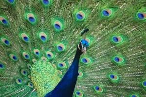 Outros/cores de pavão
