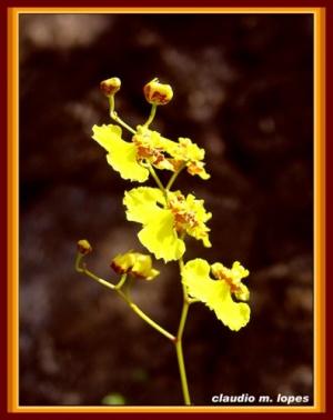 /Orquídea#