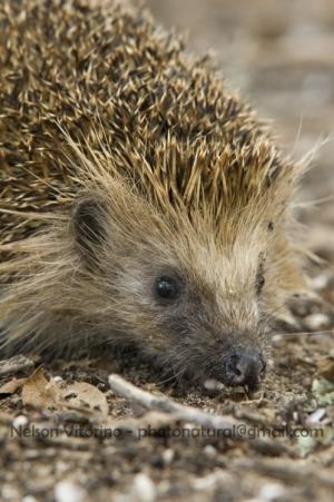 Animais/Hedgehogs