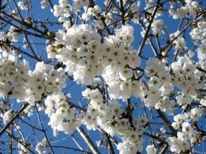 Macro/Cerejeira em flor