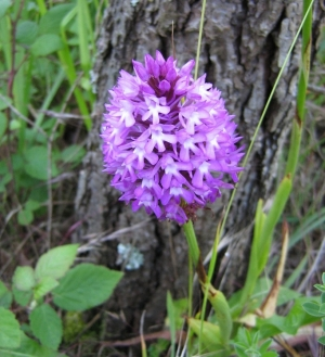 Macro/orquídea selvagem