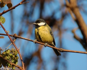 Animais/CHAPIM REAL (Parus major)