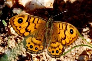 Macro/borboleta1