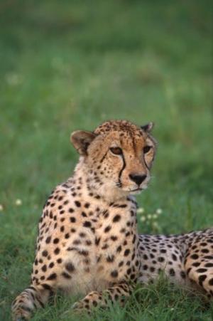 Animais/Chita-África do Sul II