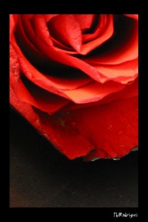 /As rosas não falam