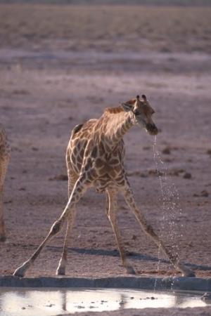 Animais/Girafa-Namíbia