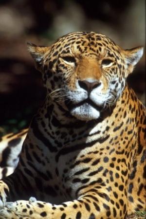 Animais/Jaguar-México