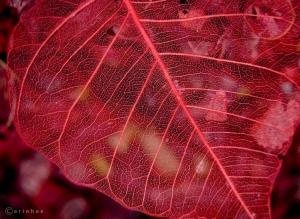 /Potpourri Leaf
