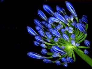 /Flor Azul