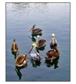 /Reunião de Pelicanos