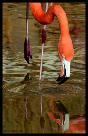 /Flamingo do Chile
