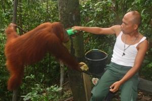 Animais/Centro de reabilitacao de orangutans