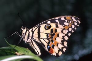 /Papilio Demoleus-Ásia