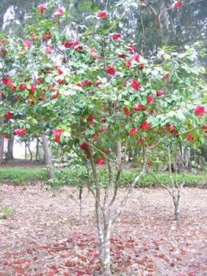 /Éden... a árvore do paraíso...