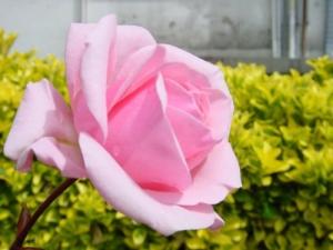 /Rosa solitária!