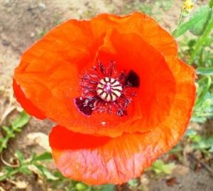 /A papoila também é uma flor