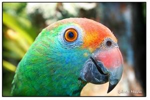 /Papagaio 2