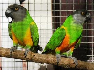 Animais/Papagaios do Senegal